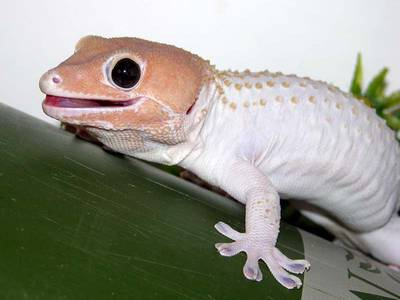 tokay gecko morph interview with nerd gecko time gecko time