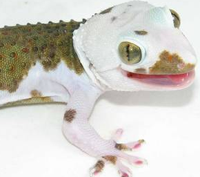 Tokay Gecko Morph Interview with NERD