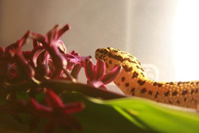 leopard-geckos