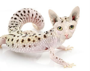 New Gecko Discovered! Cat snow leopard gecko