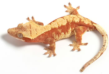 red-harley-creamsicle-crested-gecko