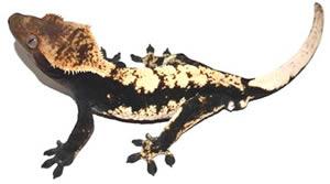 crested-gecko-mocha