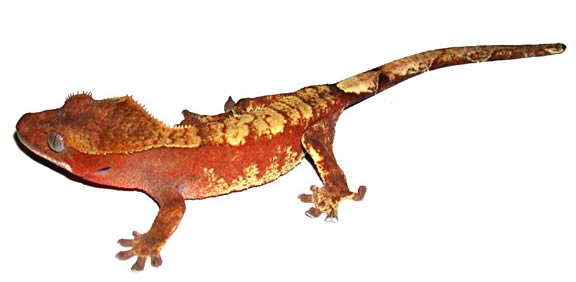 red-crested-gecko