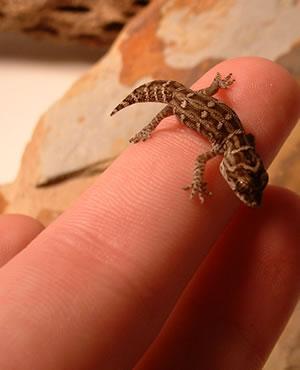 hatchling-viper-gecko