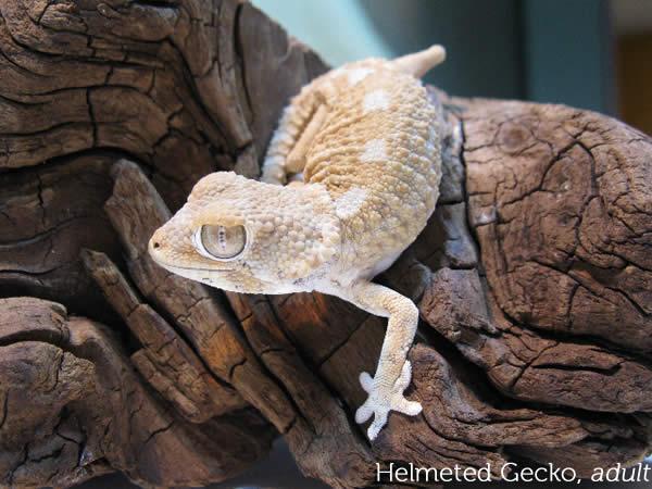 helmeted-gecko-chazalia_adult