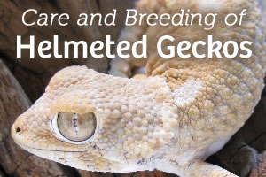 Care and Breeding of Helmeted Geckos