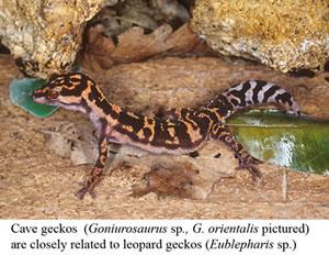 Goniurosaurus_orientalis_l