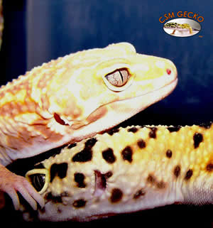 csm-leopard-geckos
