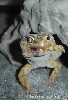 gecko-eating