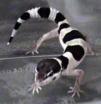 snow-leopard-gecko