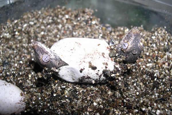 gargoyle gecko twins in egg