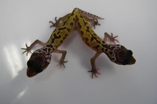 siamese leopard gecko twins
