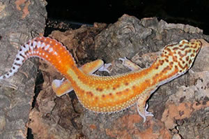 redstripe-am-gecko