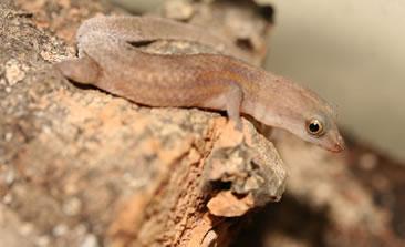 Male Sphaerodactylus roosevelti