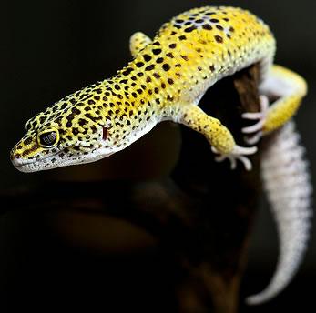 high-yellow-leopard-gecko