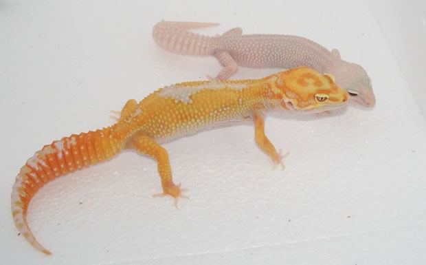 leopard-gecko-pair