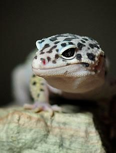 mack-snow-leopard-gecko