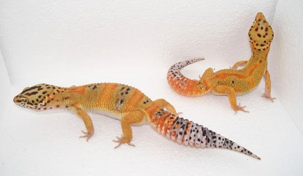 tangerine-leopard-gecko-pair