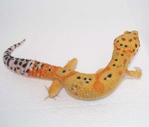 tangerine-leopard-gecko