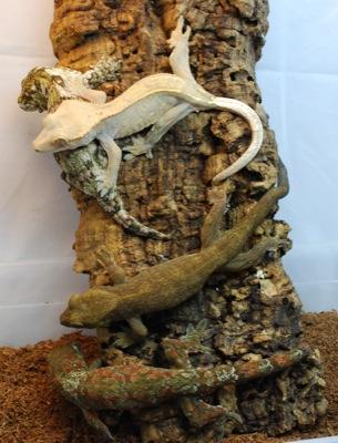 Rhacodactylus species
