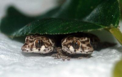 viper geckos