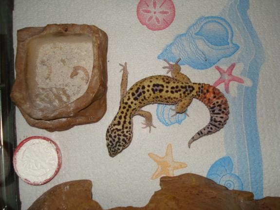 Leopard Gecko on Paper Towels