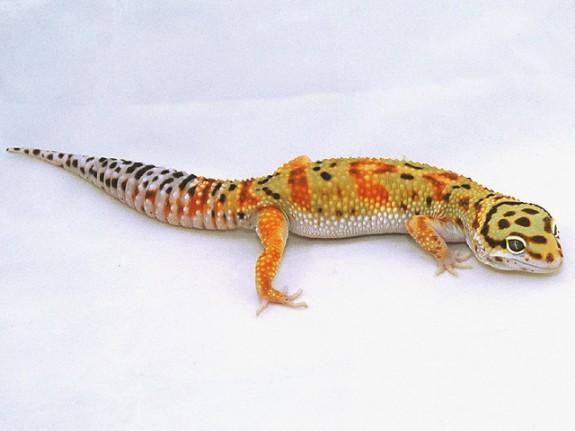 hiss tangerine leopard gecko