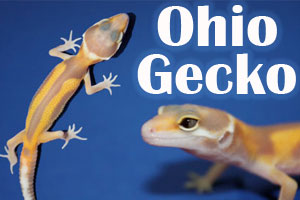 Small Breeder Interview: Thad, Dylan and Derek of Ohio Gecko