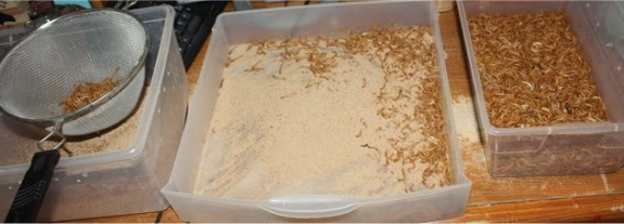 cleaning mealworms
