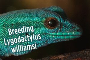 Breeding Lygodactylus williamsi