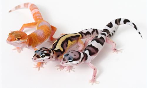 Leopard Gecko Resources