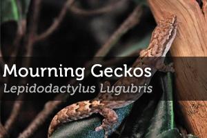 Caring for Mourning Geckos (Lepidodactylus Lugubris)