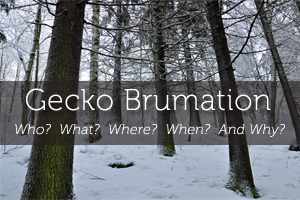 Gecko Brumation: The Who?  What?  Where?  When?  And Why? Of Cooling Your Geckos
