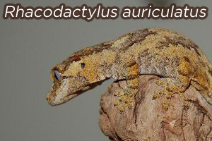 Rhacodactylus auriculatus: An Overview