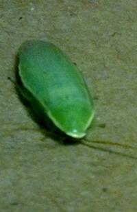 Green Banana Roach