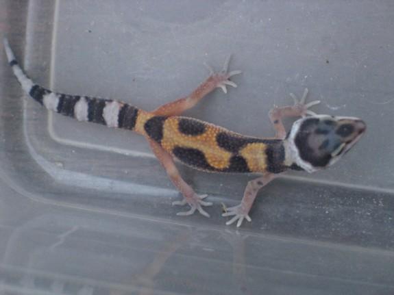 Aberrant Leopard Gecko