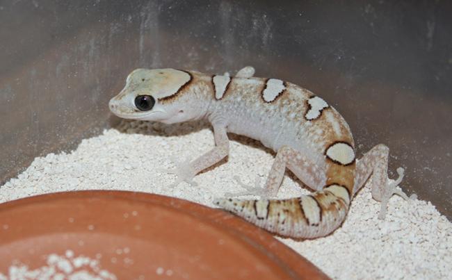 D. galeatus