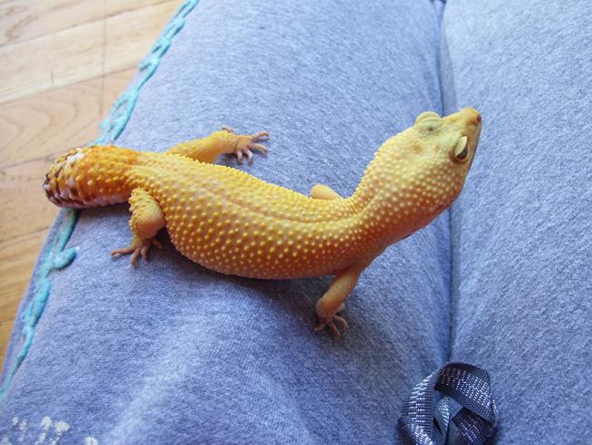 super hypo leopard gecko