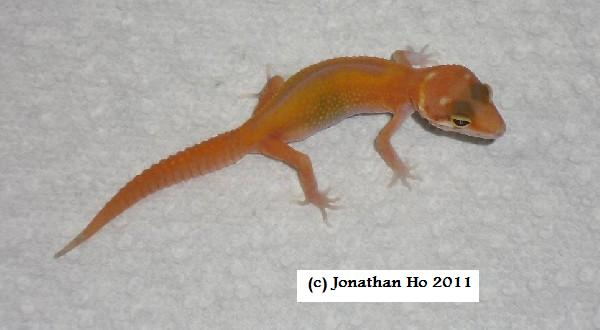 Carrot tail leopard gecko