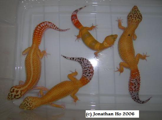 """Comparison photo of redstripe cross, """"Hine"""" carrottail and hypo tangerines within the author's collection in 2006."""