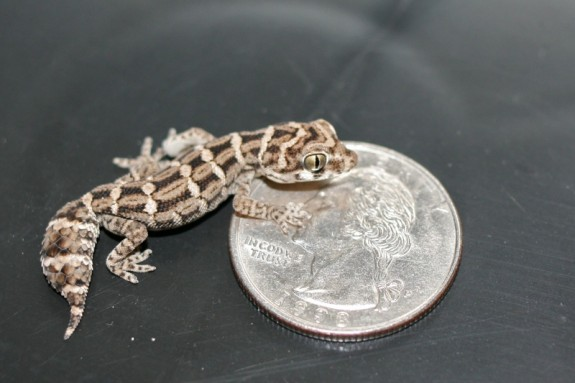 2 month viper gecko