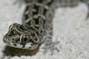 Hemidactylus imbricatus: A Gecko of Many Names
