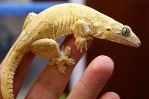 Halmahera Gecko Care