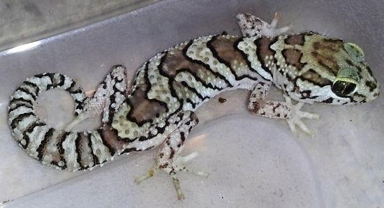 picta gecko