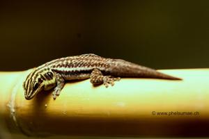 Phelsuma Pronki: Pronk's Day Gecko