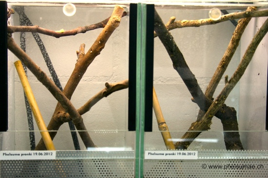 Phelsuma pronki enclosure for hatchlings