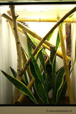 Phelsuma pronki adult enclosure