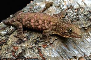 Three to Get Ready: Rhacodactylus leachianus