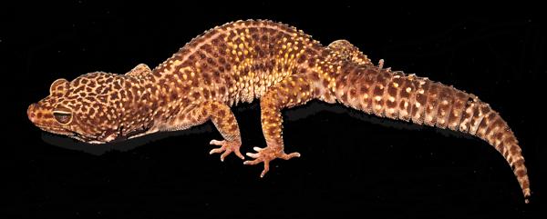 Bubba Wild Type Leopard Gecko