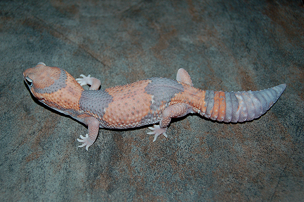Adult Ghost Fattail Gecko, by Gecko Babies